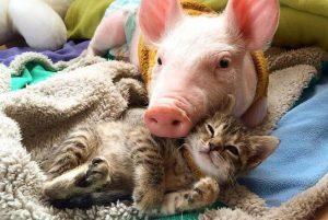 Chat et cochon entrelacés ou voir de la viande